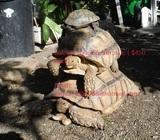 Sulcata tortoises for sale ( $450 each)