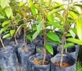 Anak pokok Durian Musang King