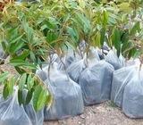 Anak pokok Durian manthong/Bantal Mas.