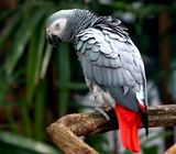 Good looking African grey parrots for good homes