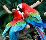 Healthy breeder macaw parrot pairs  and parrot eggs