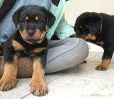 Gorgeous Male Rotweiler puppies for new homes
