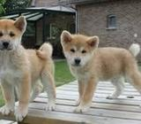 Well trained Male Akita Inu puppies