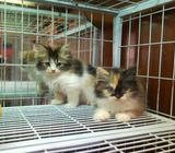 BEAUTIFUL CALICO LONG HAIR KITTENS (SOLD)