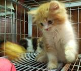 Sweet Looking Female Kitten (SOLD)