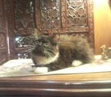 Stunning Female Kitten (SOLD)