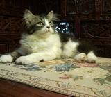 Extremely Gorgeous Female Kitten (SOLD)