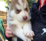Marvelous Siberian Husky Pups