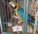 BLUE AND GREY MACAW PARROTS FOR SALE
