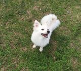 Pomerian available on rehoming