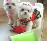 Very healthy Maltese Puppies for sale