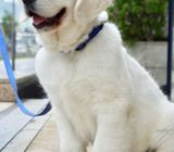 Fully Health Tested Ice White Golden Retriever Puppies