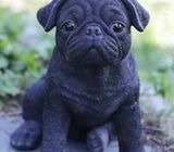 Cute pug puppies set to go now