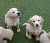4 Beautiful Golden Retriever Puppies For Sale