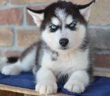 AKC Siberian Husky puppies available