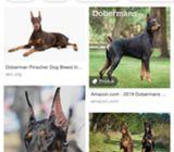 Pure breed MKA cert : DOBERMAN puppies