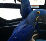 Tame Hyacinth Macaw parrots