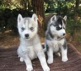 @@@@@ Gorgeous husky puppies for sale
