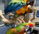 Beautiful Baby Shamrock And Catalina Macaw