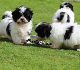 Shih Tzu Puppies, Looking For New Homes