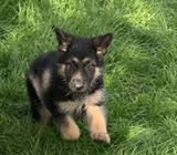 Kc Registered German Shepherd Puppies Ready now
