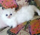 Adorable  Munchkin kitten for adoption contact now