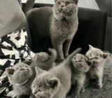Outstanding British Shorthair Kittens Ready for a new home