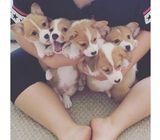 Great With Children & Gorgeous Gorgi Puppies