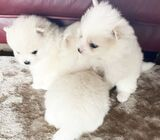 High Quality White Pomeranian Puppies Boy And Girl