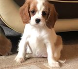 Health Checked Tri Cavalier King Puppies for Adoption