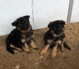 AKC registered M/F German Shepherd Pups