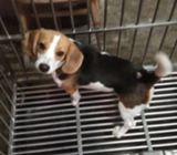 8months Beagle for sale