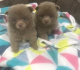 Toy Beautiful Pomeranian puppies