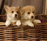 Welsh Pembroke Corgis Puppies Kc Registerd