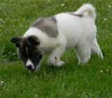 Playful Akita Puppies for new home