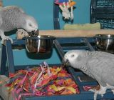 Male and Female Hand Raise African Grey parrots