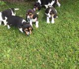 Sure cute Beagle puppies