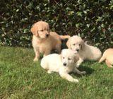 9 Golden Retriever Puppies