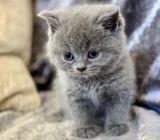 gorgeous litter of Pedigree British Shorthair kittens