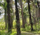 KELAPA SAWIT LAND AT PENGKALAN HULU FOR SALE