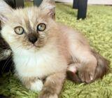 Female Mix British and Blue Russian Kitten