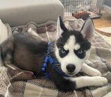 Sweet & Playful  Siberian Husky  Puppies